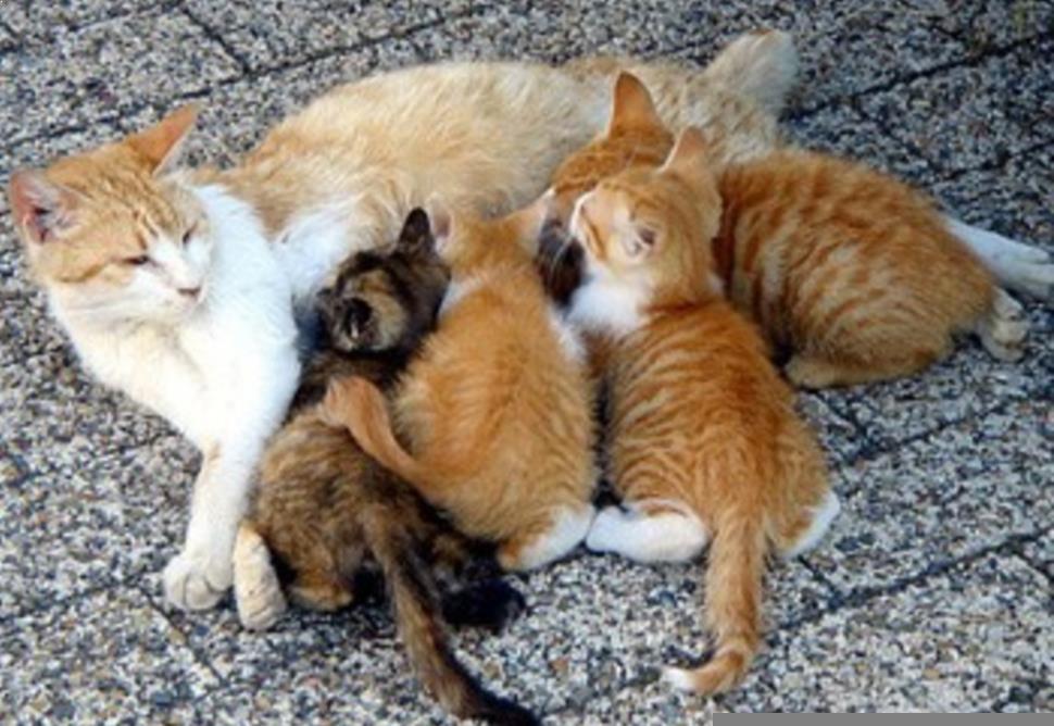 Cara Membuat Kucing Gemuk Setelah Melahirkan
