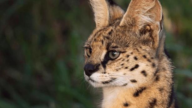Cara Merawat Kucing Hutan Agar Jinak