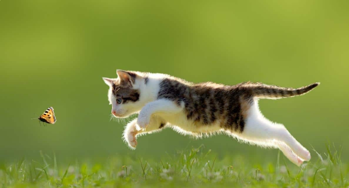 kucing melompat