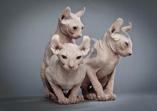 Kucing Elf Cat