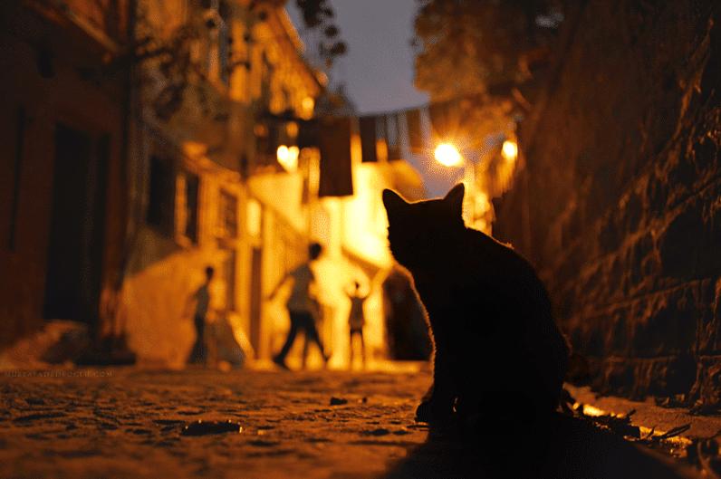 Kucing Malam