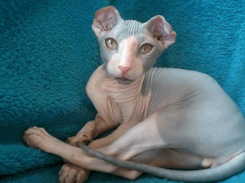Kucing Ukrainian Levkoy