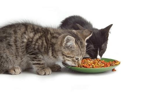 Kucing makan