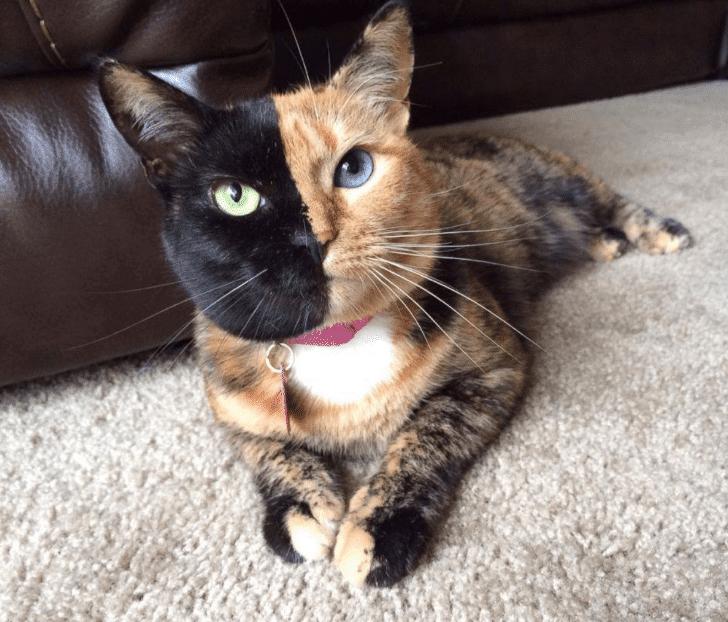Kucing muka aneh