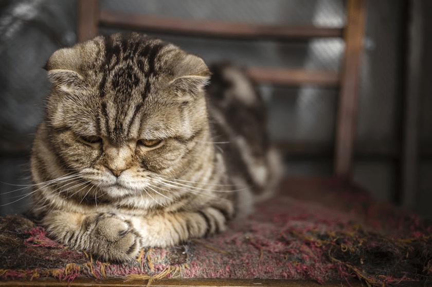 Cara Mengatasi Kucing Stres Karena Pindah Rumah