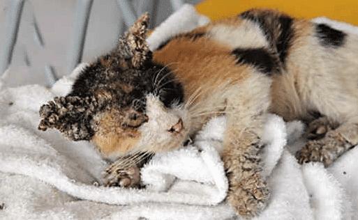 Cara Mengobati Kucing Jamuran
