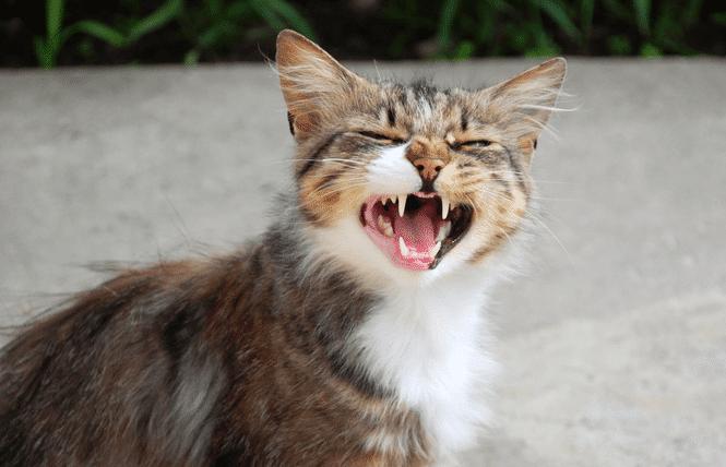 Kucing Mengeong Berlebihan