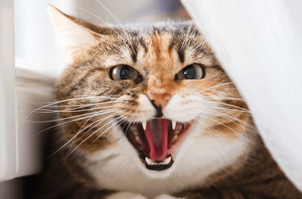Kucing mengeong malam hari