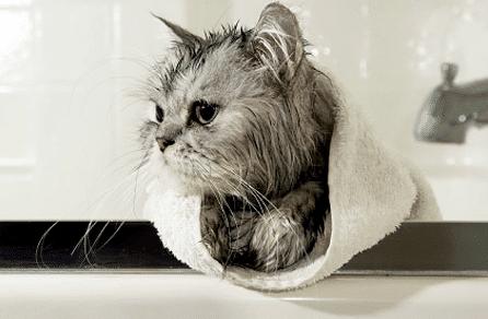 Cara Memandikan Kucing Liar