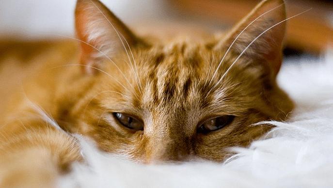 Cara Menyembuhkan Kucing Muntah Kuning