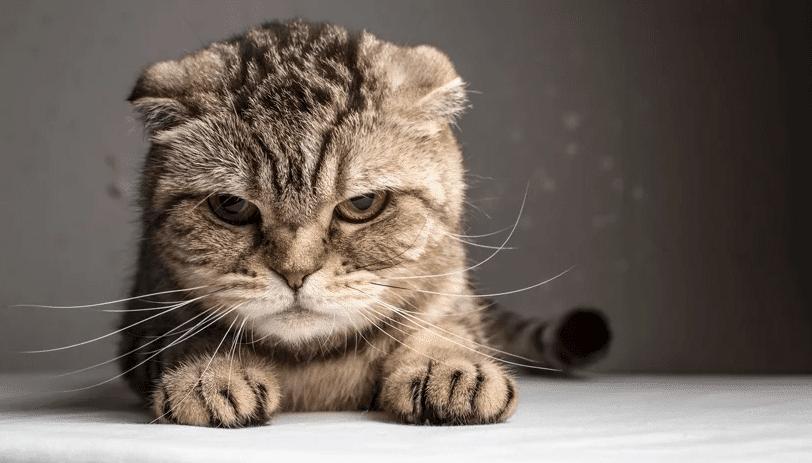 Cara memandikan kucing yang galak