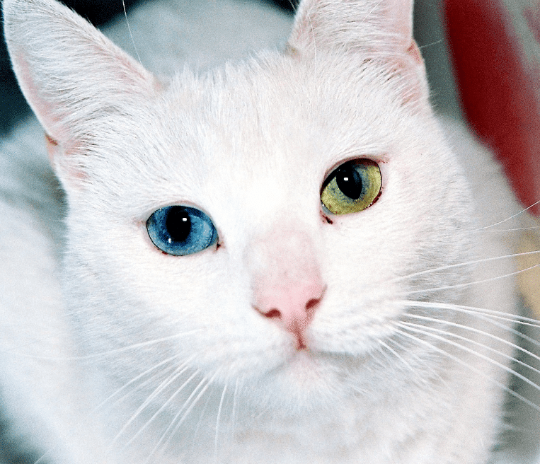 Harga Kucing Odd Eyes