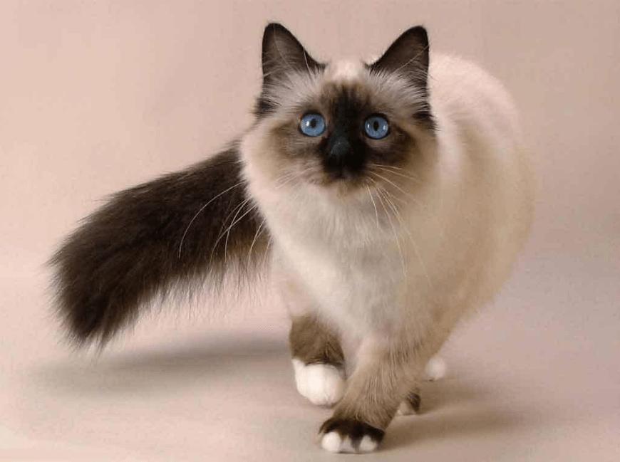 Harga Kucing Birman