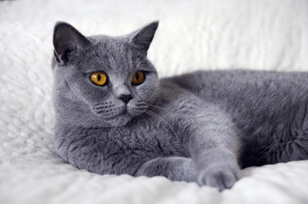 Harga Kucing British