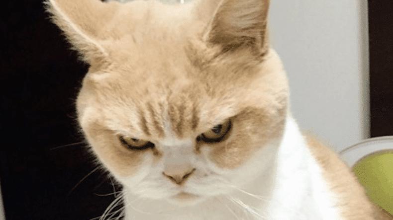 Kucing Galak