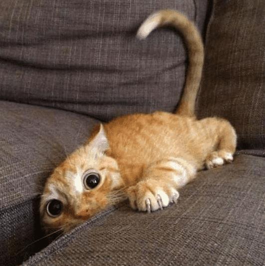 Kucing Nylungsep