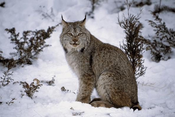 Lynx Canada Cat